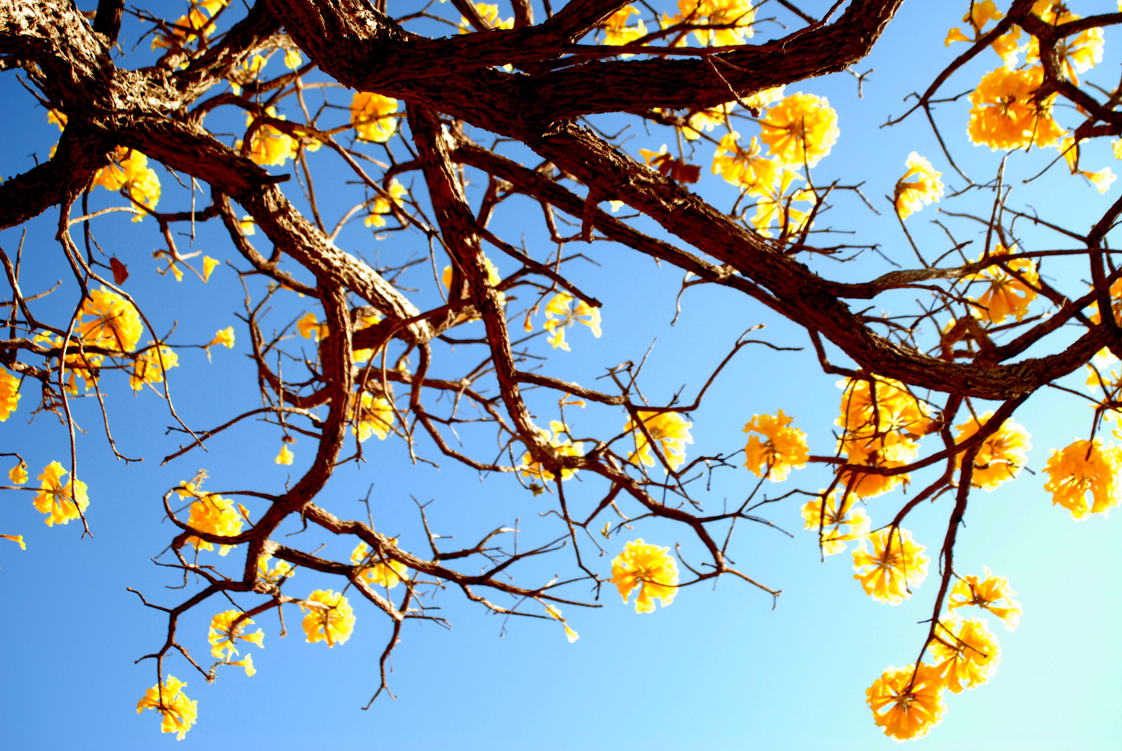 Imagem: Ipe amarelo