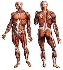 Morfologia Sistema Muscular
