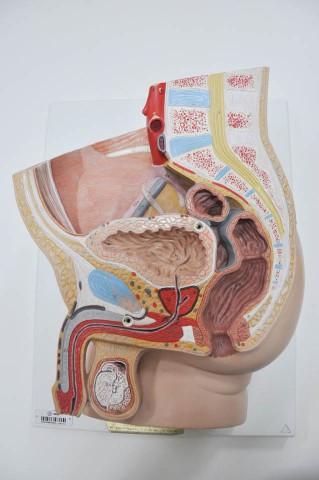 Morfologia Sistema Urinário
